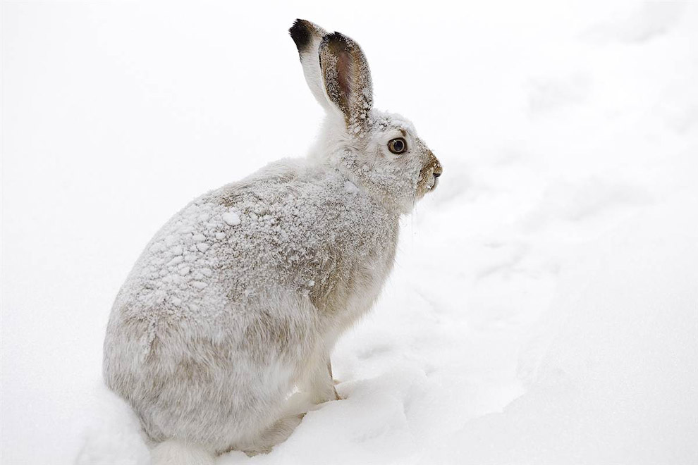 Заяц во время снегопада в Эдмонтоне, Канада