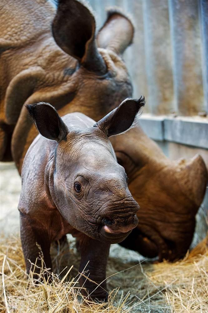Индийские носороги из города Боваль во Франции