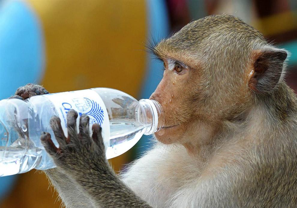 Обезьяна пьет чистую воду недалеко от Бангкока