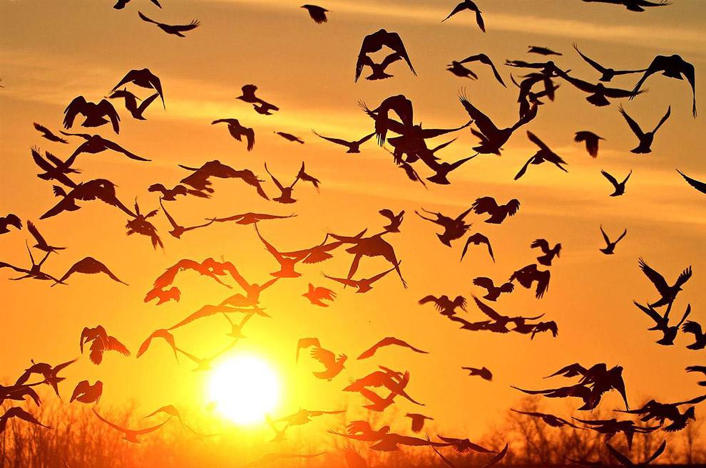 Стаи ворон мигрируют из Польши и России в теплые места на зимовку