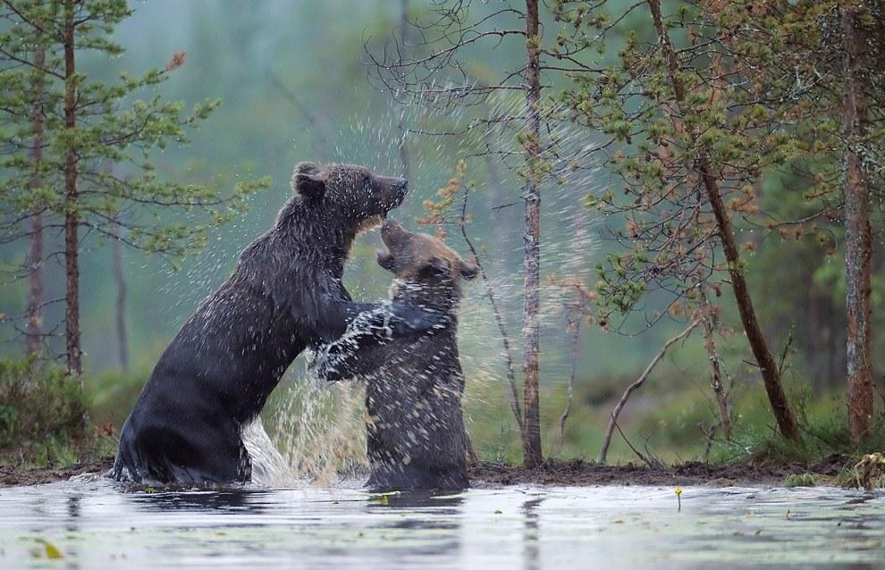 Бурые медведи из финских лесов