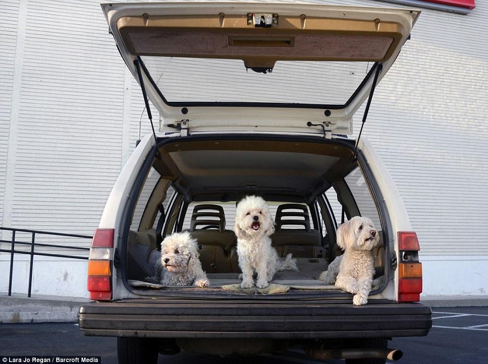 Три пуделя в багажнике