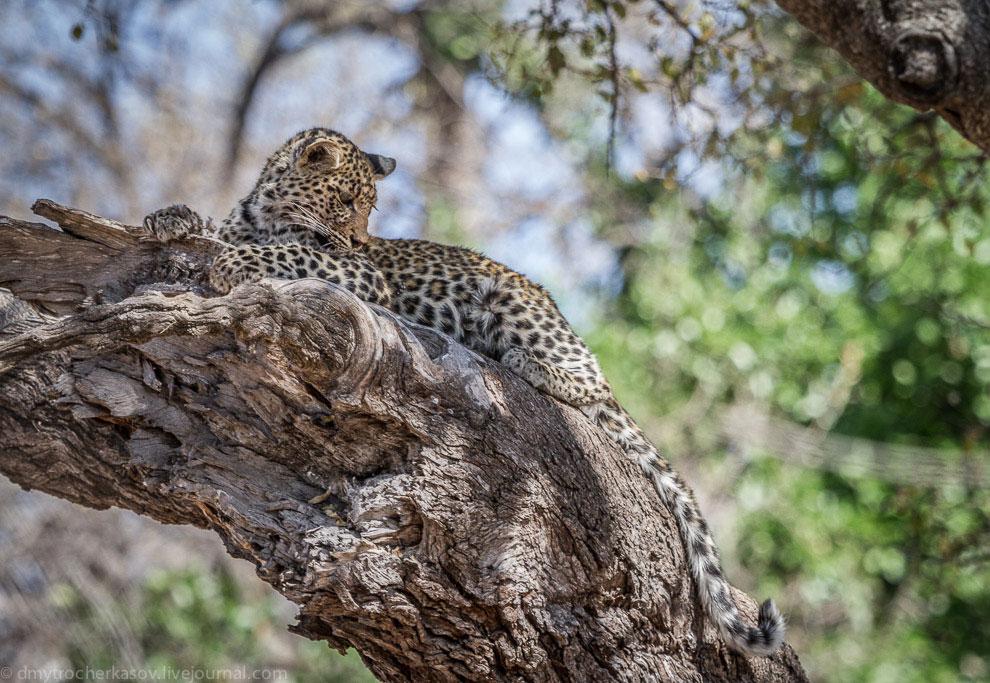 Из жизни леопардов