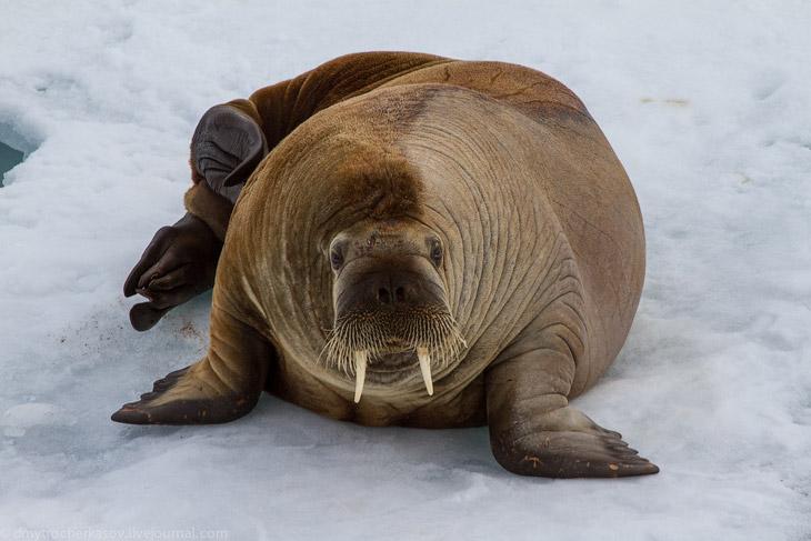 О моржах