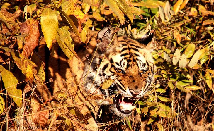Тигр в Индии