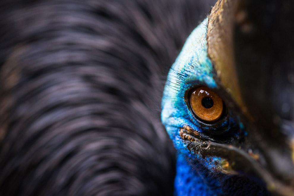 Портрет казуара — крупной нелетающей птицы, Джакарта