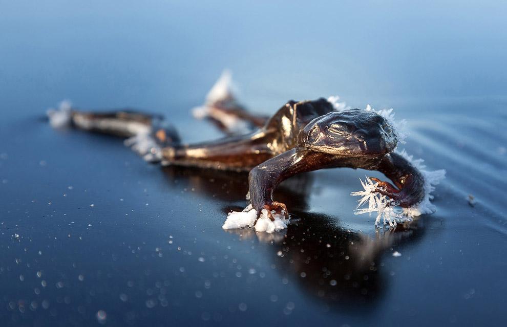 Замороженная лягушка