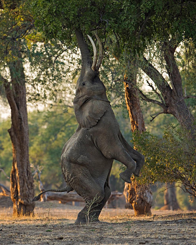 Слон в Зимбабве