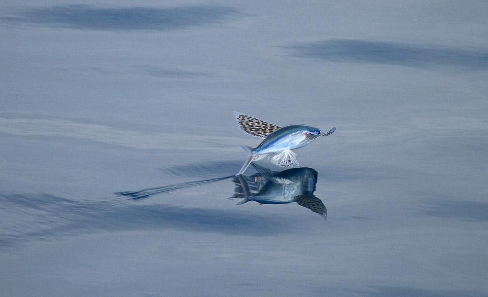 Летучая рыба Cypselurus poecilopterus