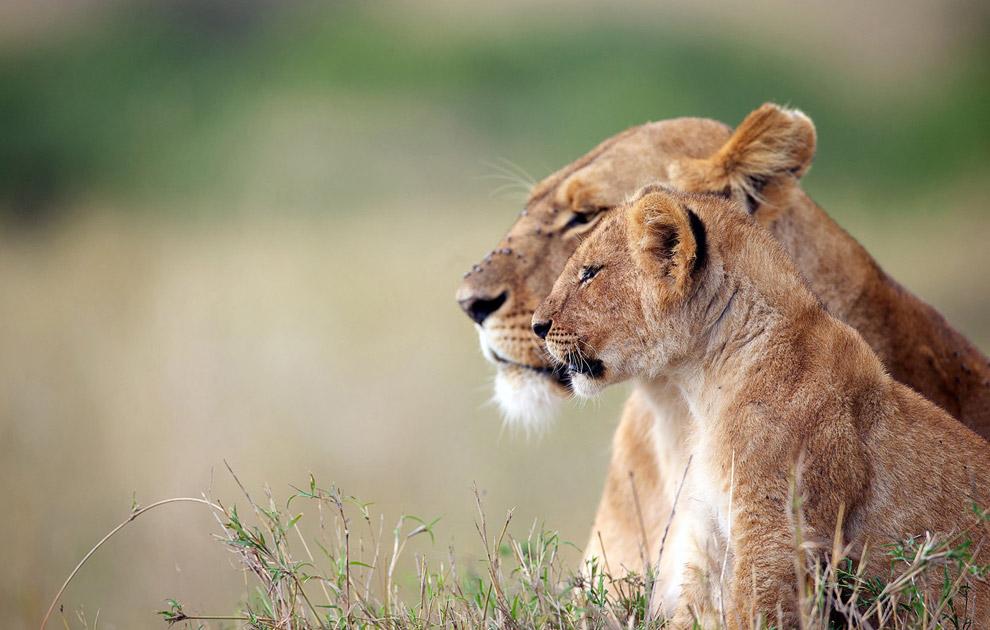 Львенок с мамой наблюдают за зеброй