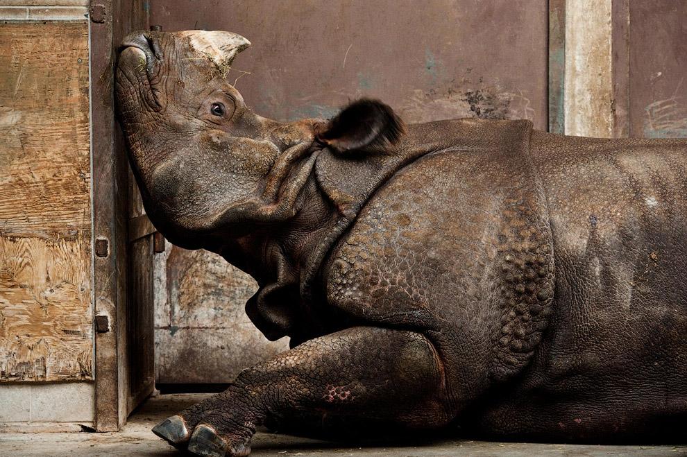 Индийский носорог в зоопарке Торонто