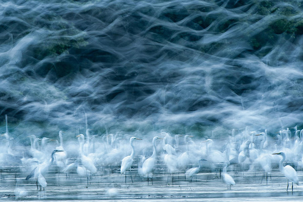 Летящие белые цапли на Дунае в Венгрии