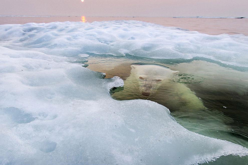 Белый медведь, всплывающий из-под льда