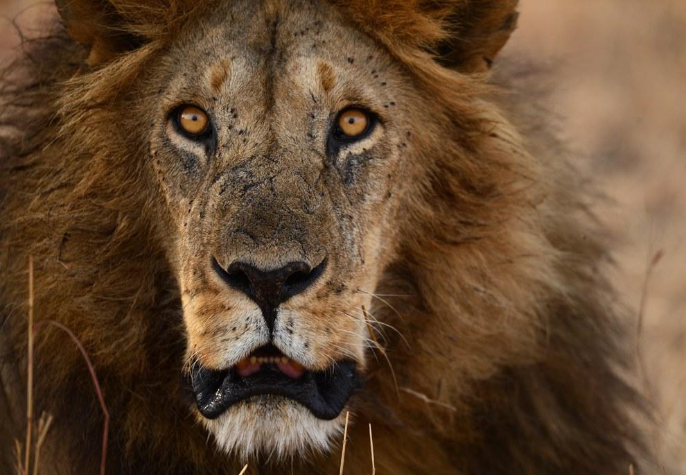 Лицо со шрамом. Этот лев давал нам понять, что лучше не делать резких движений в автомобиле