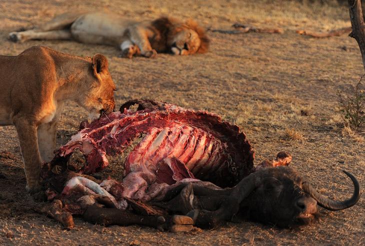 Этот львиный прайд состоят из более чем 20 животных