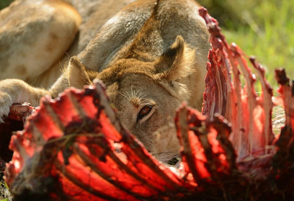 Одинокая львица доедает остатки добычи