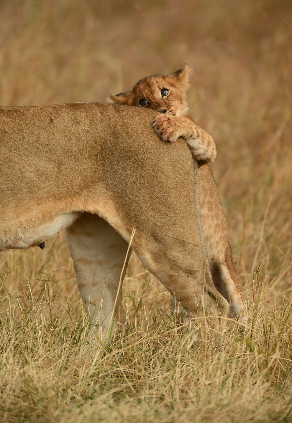 После того, как ему надоело играть со своими братьями и сестрами, это львенок решил «поохотиться» на свою маму