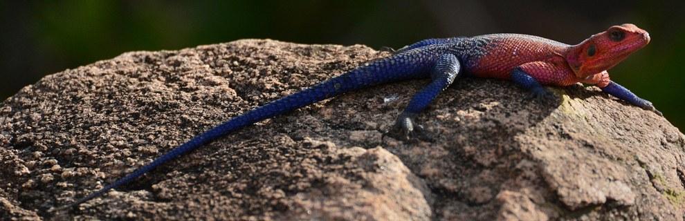 В Национальном парке Серенгети полдень. Ящерица агама греется на солнце