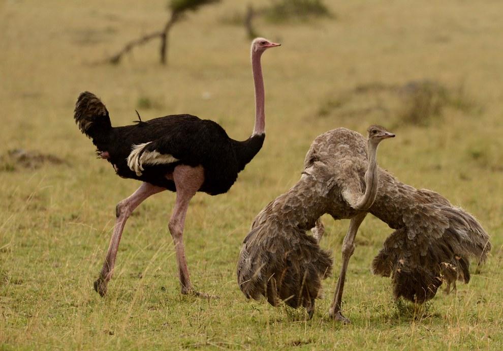 Неподалеку самец ухаживает за самкой страуса