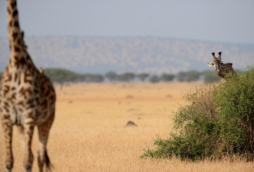 Похоже, эти жирафы играют в прятки. Заповедник Масаи Мара в Кении