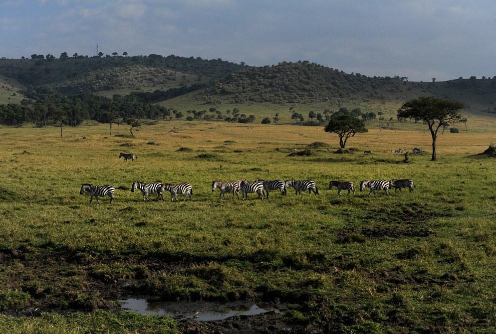 Стадо зебр пасется в заповеднике Масаи Мара, Кения