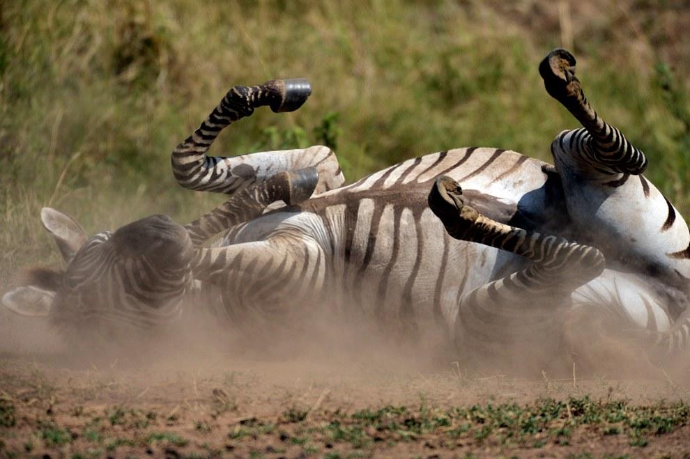Зебра занимает пылевые ванны, чтобы очистить шкуру и избавиться от паразитов
