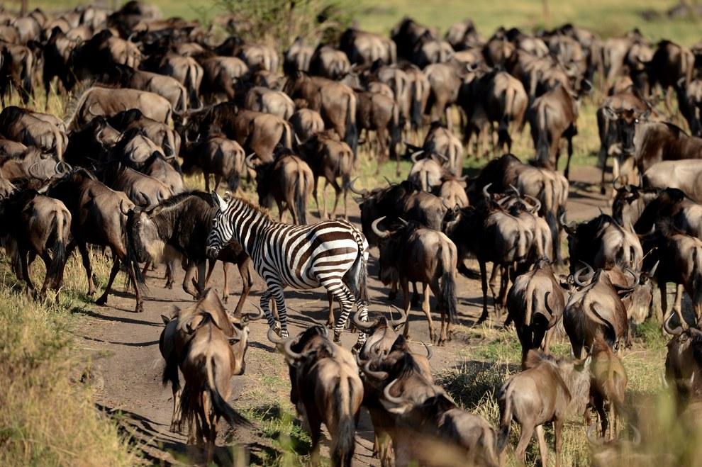 Антилопы гну и зебры