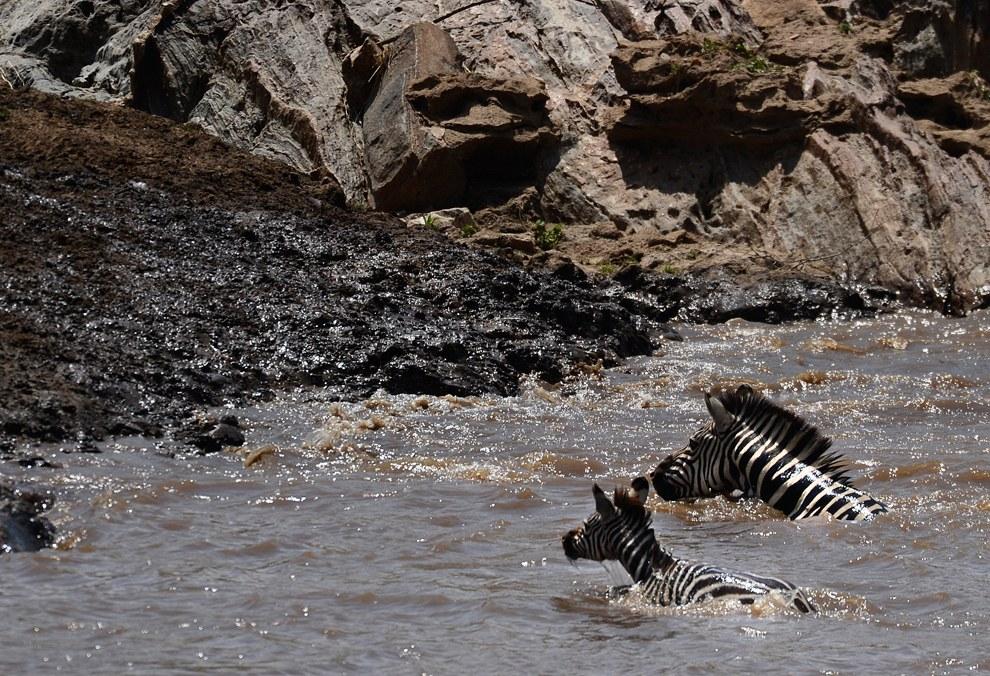 И вот взрослая зебра решила перейти реку со своим детенышем