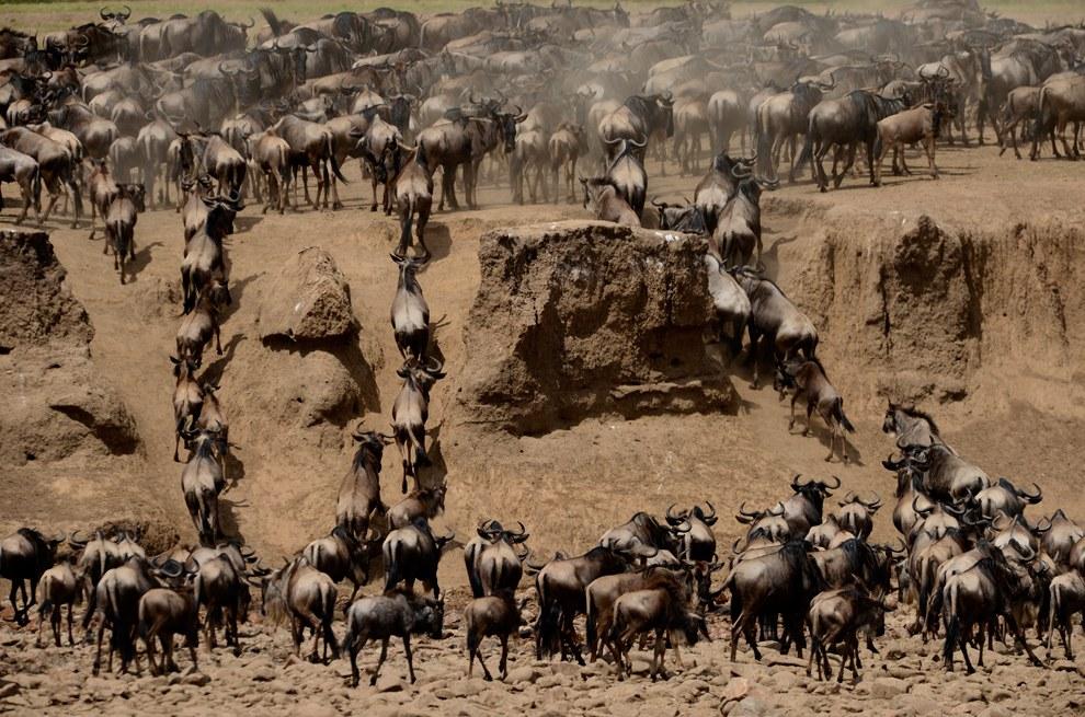 А эти антилопы гну успешно пересекли реку в Танзании, кишащую крокодилами