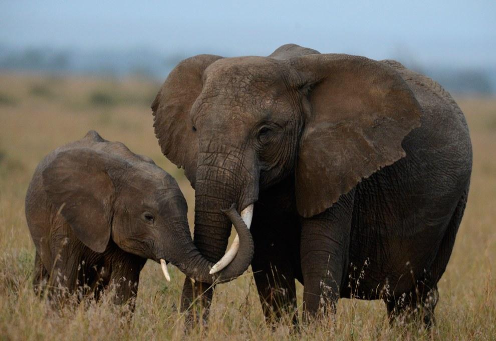 Маленький слоненок все еще держится за маму для уверенности