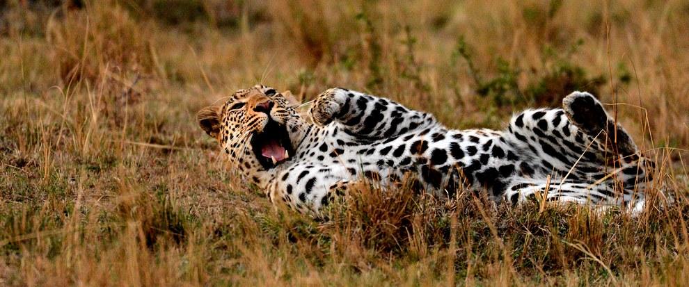 В заповеднике Масаи Мара в Кении вечер. Леопард отдыхает и готовится к ночной охоте