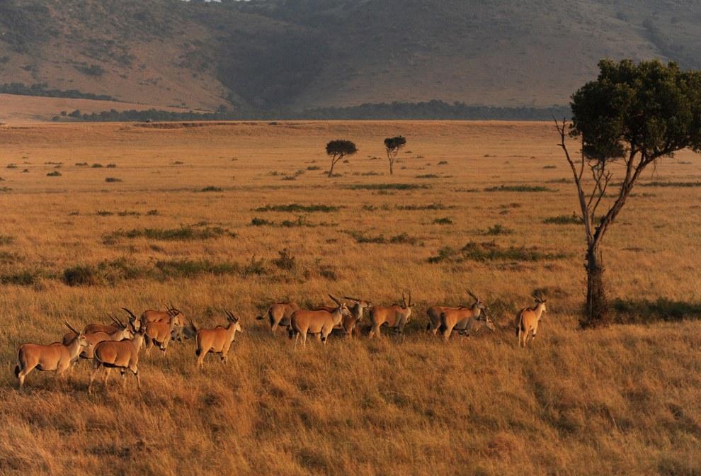 Небольшое стадо газелей в заповеднике Масаи Мара