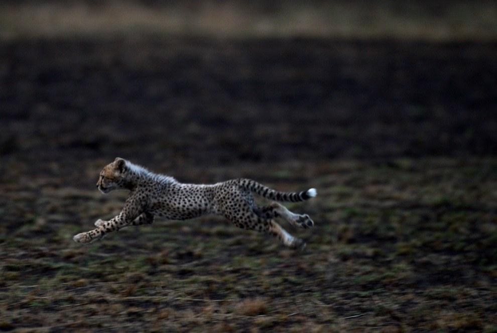 Маленький гепард. Эти кошки удерживают рекорд скорости среди наземных животных — около 120 км/час