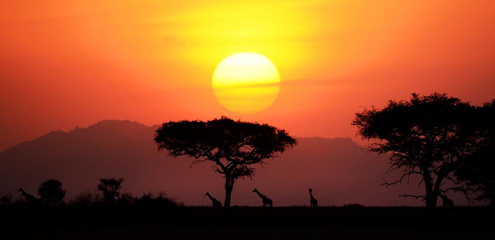Стадо жирафов идет в безлопастное место на ночевку