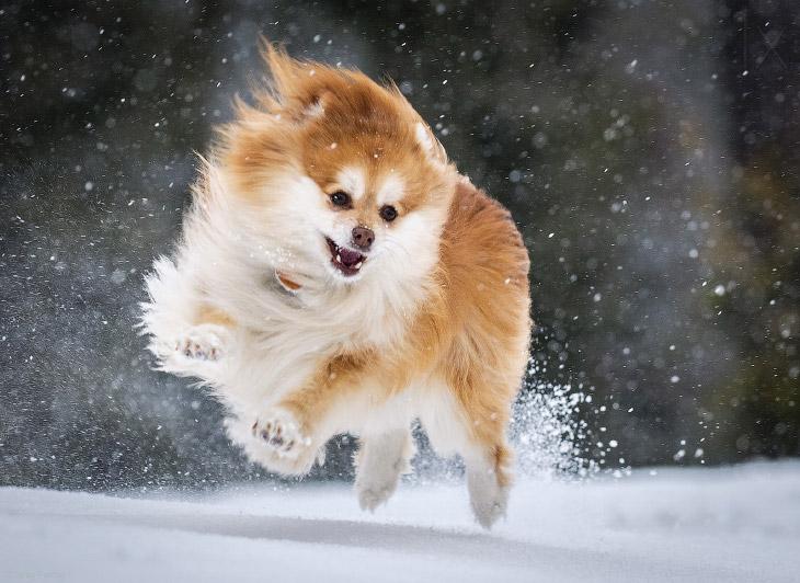 «Снежная» собака
