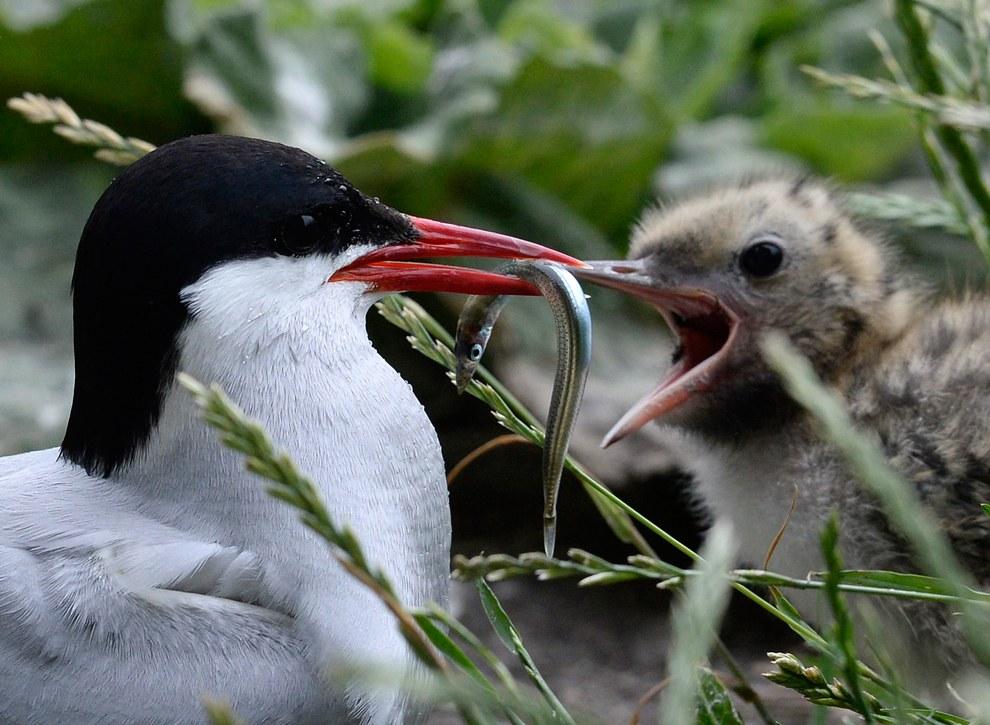 Полярная крачка — единственная птица, мигрирующая сезонно из Арктики в Антарктику, при этом за год она преодолевает расстояние до рекордных 70 тысяч километров