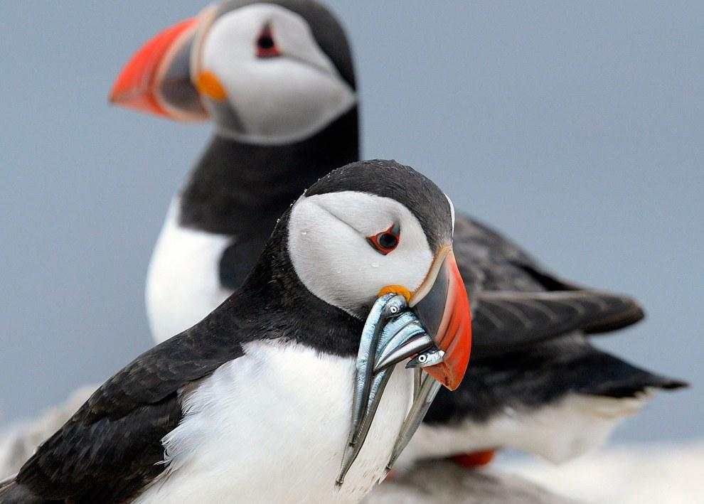 Тупики гнездятся группами или колониями по обрывистым морским берегам. Питаются мелкой рыбой и морскими беспозвоночными