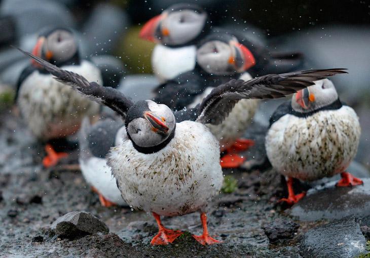 Тупик  — морская птица с высоким ярко окрашенным клювом. Тупики хорошо ходят, летают, плавают и ныряют