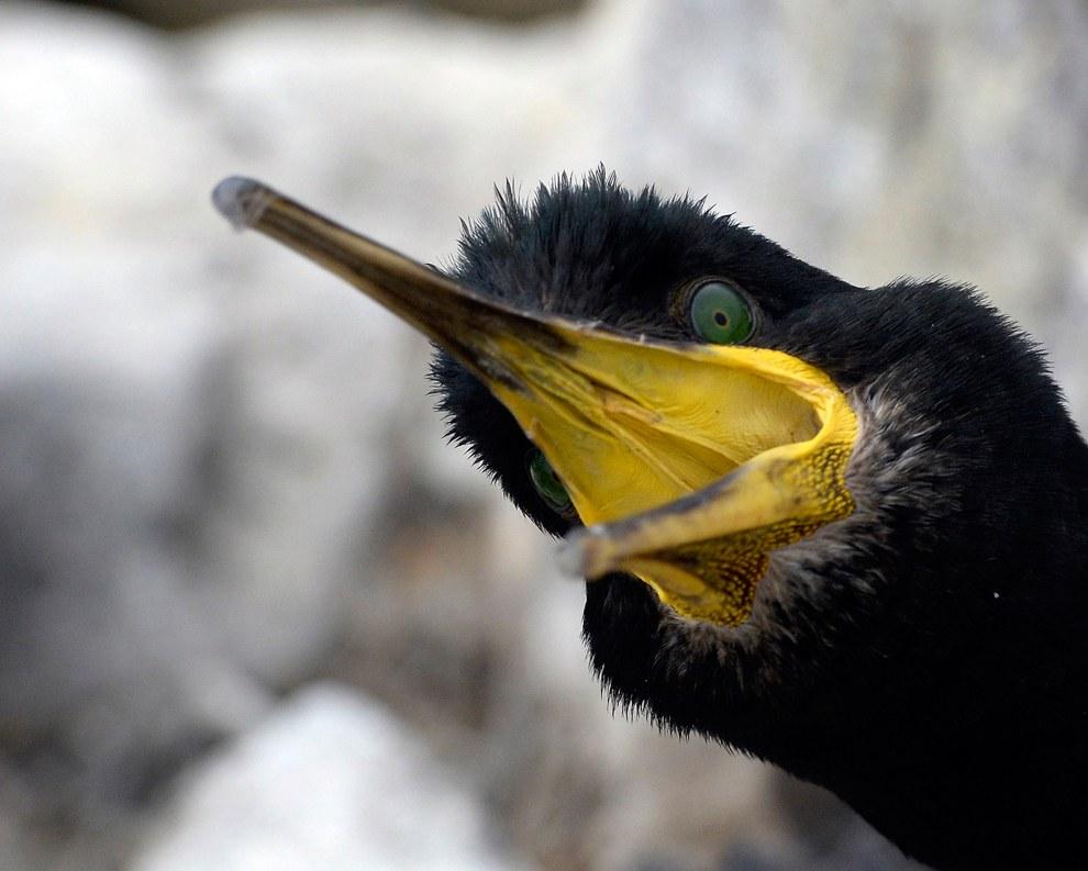 Взрослые птицы не понимают это «переписи» и защищают своих детенышей