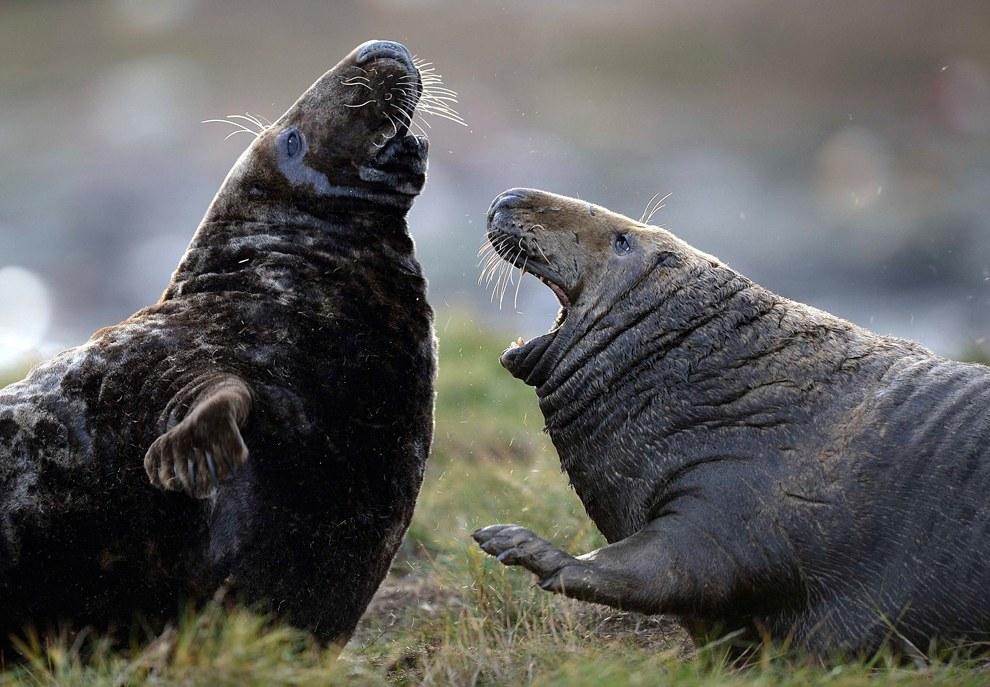 Разборки у тюленей