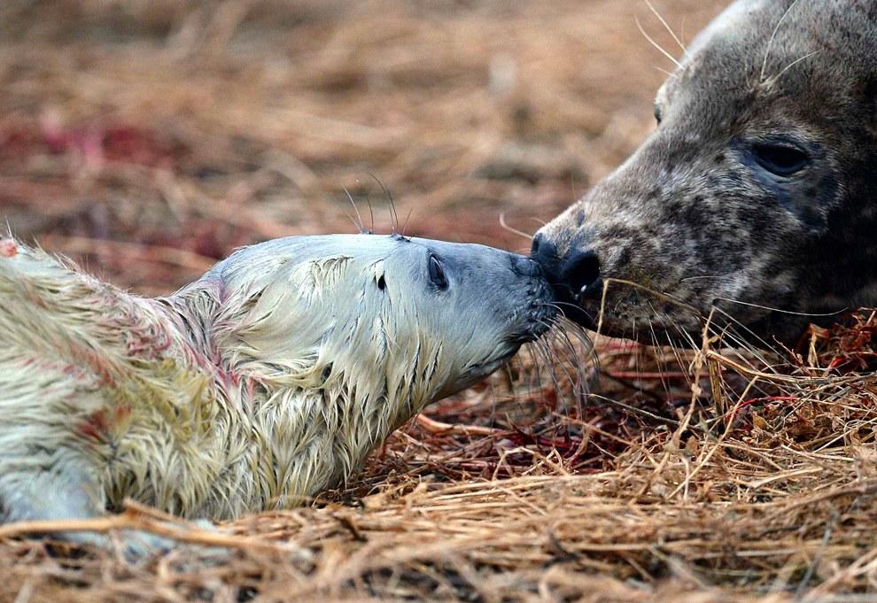 Новорожденный тюленьчик