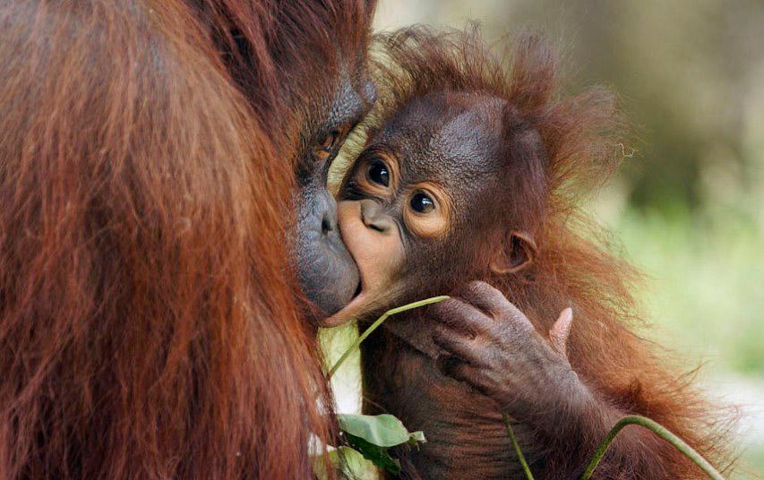 Орангутангские нежности в зоопарке Токио