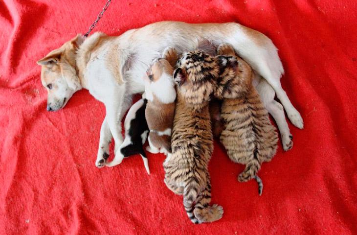 В городе Ханчжоу в восточной китайской провинции Чжэцзян тигрица отказалась кормить своих тигрят, и эту обязанность взяла на себя собака