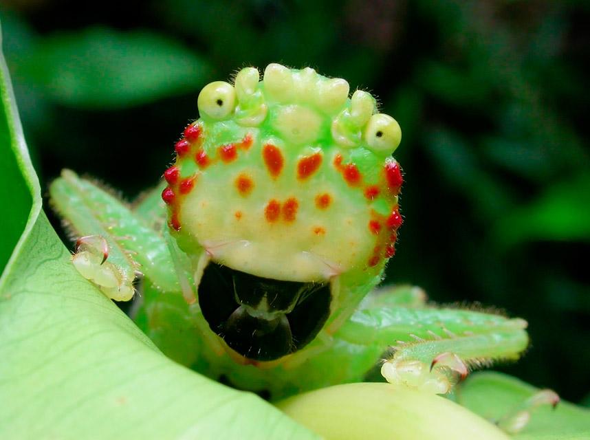 Невероятно радостное насекомое Lirometopum coronatum из Коста-Рики