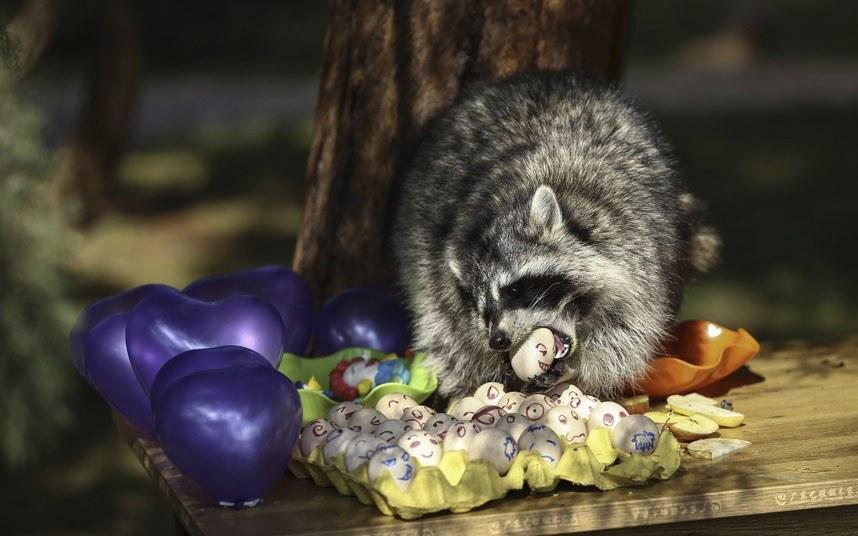 В день рождение еноту преподнесли яичный торт в зоопарке в провинции Юньнань, Китай