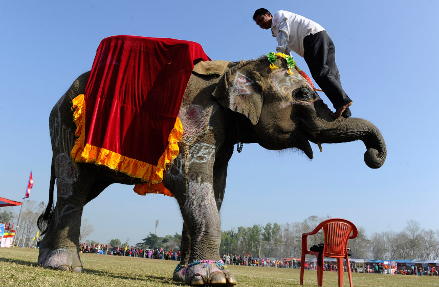 Непальская погонщик демонстрирует акробатические номера со своим слоном в Национальном парке Читван