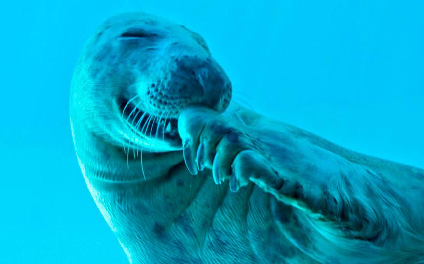 Счастливый тюлень в аквариуме в Португалии