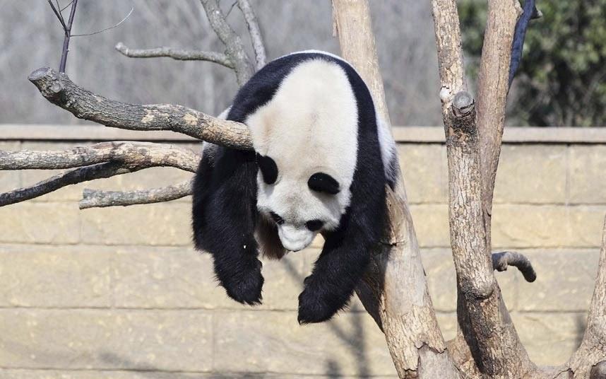 Гигантская панда спит на дереве в Парке дикой природы Ханчжоу, Восточный Китай