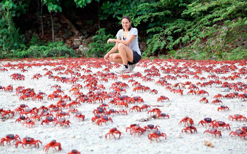 Миллионы красных крабов начали свою ежегодную миграцию из тропических лесов на побережье в Индийском океане