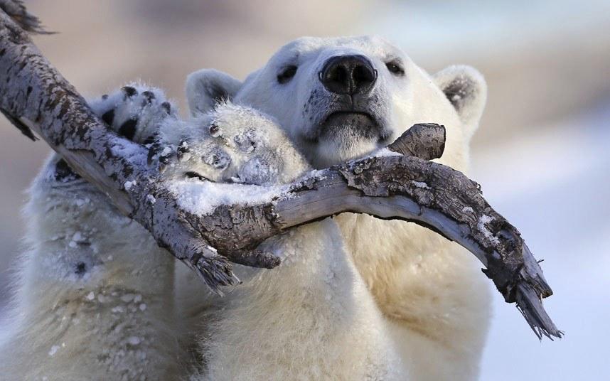 Белый медведь в зоопарке в Квебеке, Канада